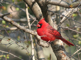 Red Cardinal Bird on the Tree