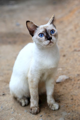 Thai cat with eye color blue