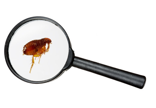 Dog or cat flea under real magnifying glass over white