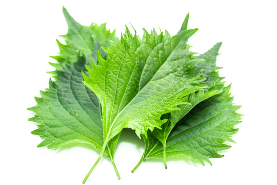 Green Shiso Leaf