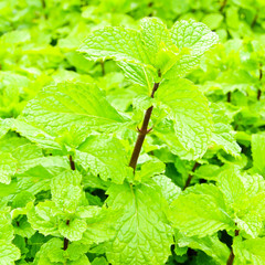 Fresh green mint plant