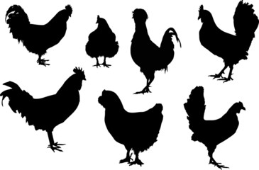 seven black roosters isolated on white