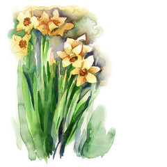 Watercolor Narcissus