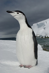 Antarctic penguin on the background of the ocean and ice.