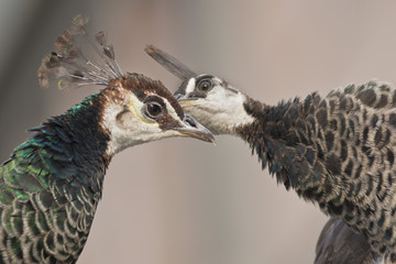 Two female Peacocks