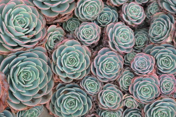 Hens and Chicks or Houseleek Plant