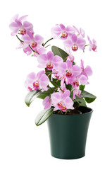 Printed roller blinds Orchid Beautiful orchid in the cache-pot isolated