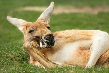 Känguru in menschenähnlicher Pose