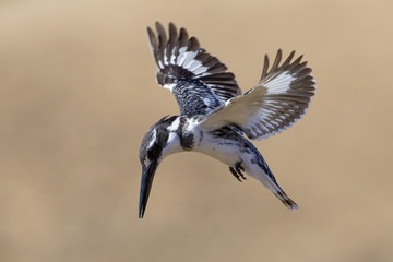 Pied Kingfisher (Ceryle rudis) South Africa