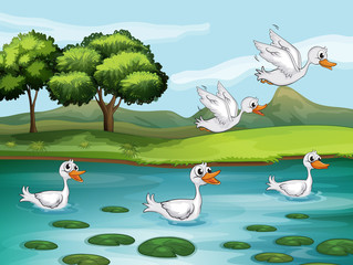 Wall Murals River, lake Ducks and water