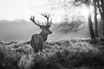 Wall Mural - Red deer in Richmond park