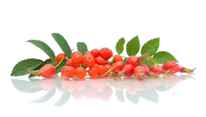 red rowan and rose hips on a white background