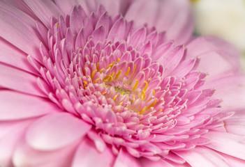 Macro of pink Gerbera
