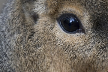 Eye of a Patagonian cavy