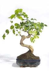 Plants - closeup of a bonsai
