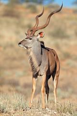 Photo sur Aluminium Antilope Kudu antelope