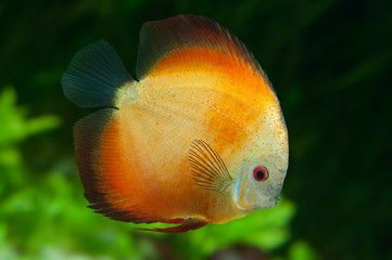 Orange Discus in aquarium