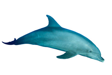 Poster Dolfijnen Bottlenose Dolphin isolated on white background