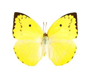 Lemon Emigrant butterfly (Catopsilia pomona)...