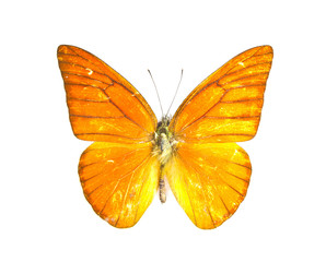 Orange Albatross butterfly (Appias nero)...