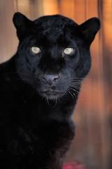 Poster Panther Leopard portrait