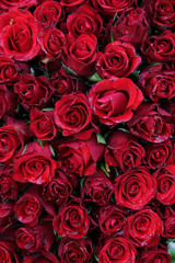 Wet red roses