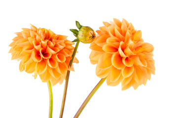 Papiers peints Dahlia orange dahlia