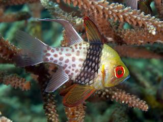 Fotobehang Koraalriffen Pajama Cardinalfish