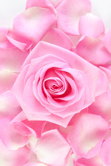 rose against the background of petals