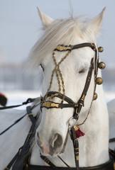голова белой лошади
