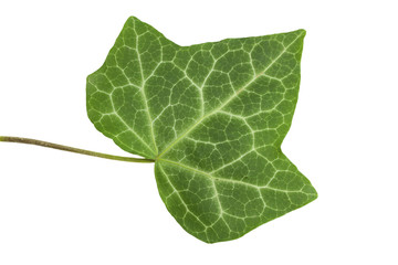 Leaf of a tree the Ivy