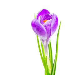 blooming spring crocus flower
