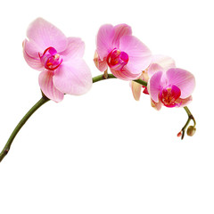 Pink orchid flower isolated on white,  floral background