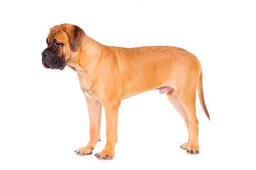 bullmastiff puppy stands