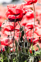 Corn poppies (Papaver rhoeas) in a field.
