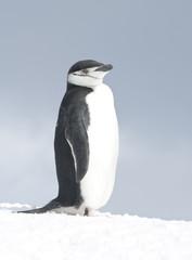 Antarctic penguin bright winter day.