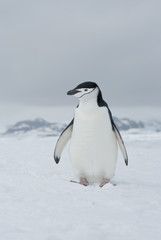 Antarctic penguin overcast day.