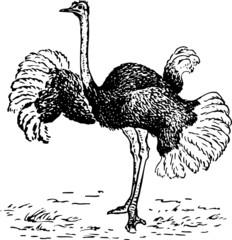 Ostrich dancing