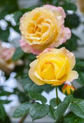 yellow wild rose in the garden