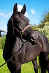 schwarzes reitpferd