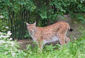 Wall Mural - Eurasian lynx (L. Lynx)