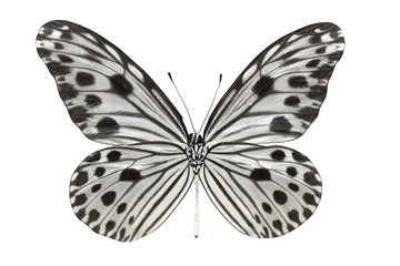 Butterfly (Idea lynceus)