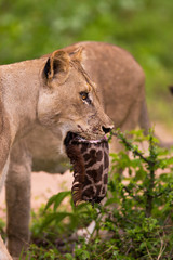 Wall Mural - Lioness with giraffe kill in its mouth