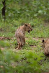 Wall Mural - Wild baby lion cub