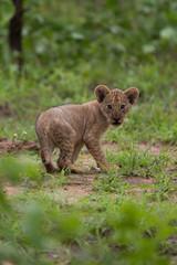 Wall Mural - Baby lion cub