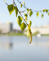 Birch, blooming in the city.