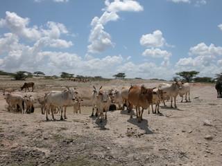 troupeau boeufs Kenya