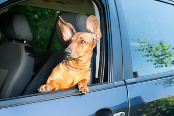 Dog looking out from the car window