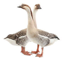 two goose