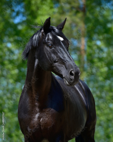 Fototapete Black stallion of Russian riding breed